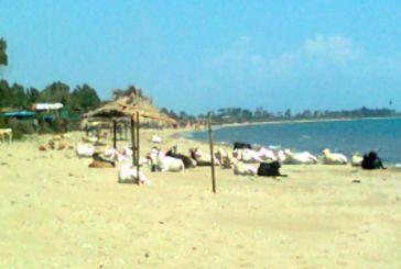 «Hλιοθεραπεία» αγελάδων στην παραλία του Λούρου!