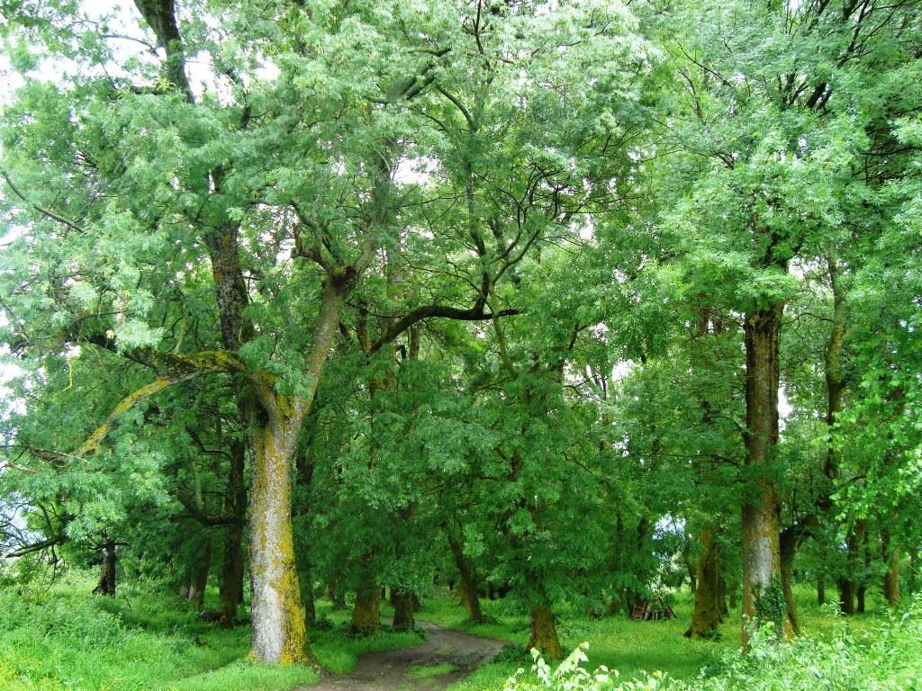 Δάσος Φράξου Τριχώνιο