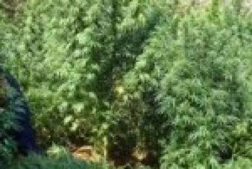 45χρονος καλλιεργούσε χασις στην Κατοχή