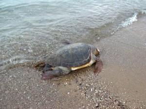 Νεκρή καρέτα-καρέτα στη Παραλία Λύσιμος στο Μύτικα