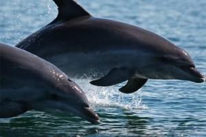 Τα δελφίνια του Αμβρακικού «αντιλαμβάνονται την έννοια του θανάτου»