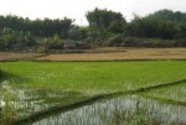Ρύζι: Προβληματίζει η τιμή και τα αποθέματα