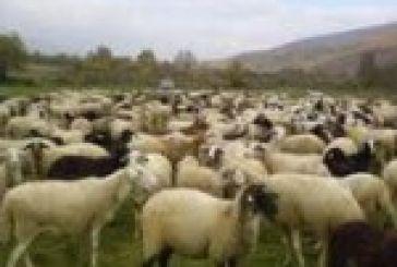 Του έκλεψαν τα πρόβατα, του έκλεψαν και τα κουνέλια…