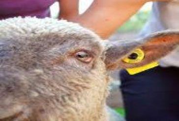 Υποχρεωτική πλέον η ηλεκτρονική σήμανση στα αιγοπρόβατα…