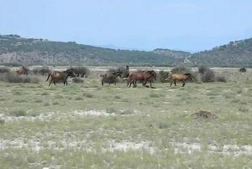 Άγρια άλογα στις εκβολές του Αχελώου (Video)