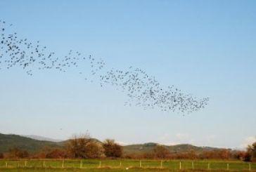 Μεγάλα σμήνη από πουλιά στο Ξηρόμερο