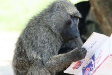 Ξέρουν να διαβάζουν οι πίθηκοι;