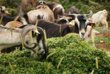 Αιτήσεις ενίσχυσης για τη διατήρηση απειλούμενων ειδών αγροτικών ζώων