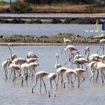 MΕΣΟΛΟΓΓΙ:Φλαμίγκο στην λιμνοθάλασσα(ΒΙΝΤΕΟ)