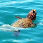 Επιθέσεις σε χελώνες καρέτα στον Αμβρακικό