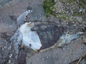 Θαλάσσιες χελώνες …ευχή ή κατάρα;
