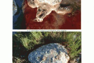 «Η θαλάσσια χελώνα βρίσκεται υπό διωγμό από τον Αμβρακικό κόλπο!!!»