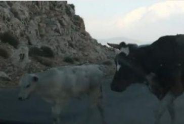 Αγελάδες σταματούν την κυκλοφορία