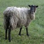 Μολύνθηκε από συνεύρεση με…προβατίνα!