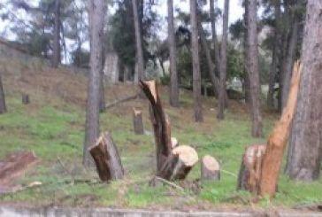 Έκοψαν για καυσόξυλα τα πεύκα στο παλιό χωριό Καραϊσκάκης