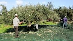 Eρώτηση Σαλμά για τα προβλήματα στις εξαγωγές της ελιάς ποικιλίας Καλαμών