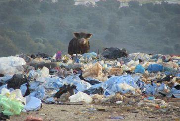 Γουρούνια τρώνε σκουπίδια στη χωματερή Αστακού! (video)