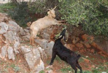 Η μια κατσίκα ταϊζει την άλλη!