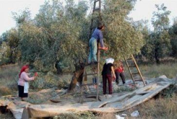 ΠΟΠ ελιάς Καλαμών: Μια πονεμένη ιστορία…