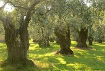 Τι απαντά ο Τσαυτάρης για τις ελιές Καλαμών και Αγρινίου