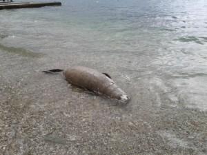 Σκοτωμένη φώκια σε παραλία στο Μύτικα
