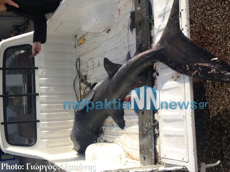 Ψάρεψαν καρχαριοειδές μήκους δύο μέτρων στην Κάτω Βασιλική