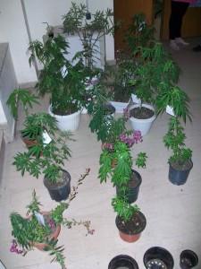 Kατ' οίκον καλλιέργεια… χασίς