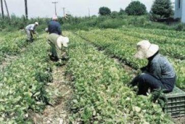 Η καπνοκαλλιέργεια επιστρέφει στην Αιτωλοακαρνανία