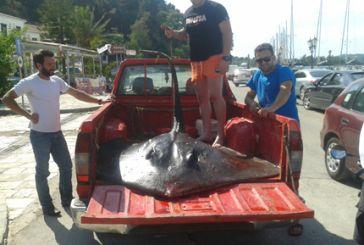 Τεράστιο Σαλάχι ψαρεύτηκε στη Βόνιτσα