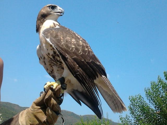 Το γεράκι red tailed hawk εκπαιδεύεται στη Σκουτερά