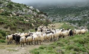 Έκλεψαν 18 πρόβατα από μαντρί στην Κωνωπίνα!
