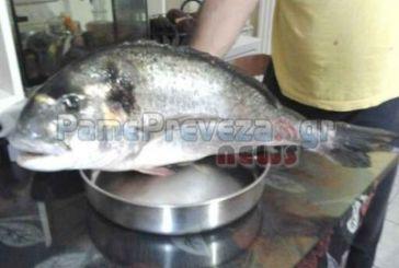 Τσιπούρες ΓΙΓΑΣ στον Αμβρακικό – Στο καλάμι ερασιτέχνη ψαρά το τεράστιο ψάρι