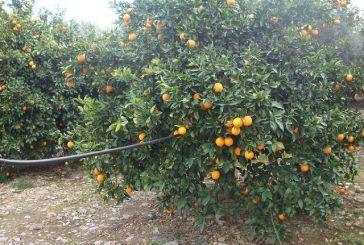 Ενημέρωση στους εσπεριδοκαλλιεργητές για την ασθένεια Τριστέτσα
