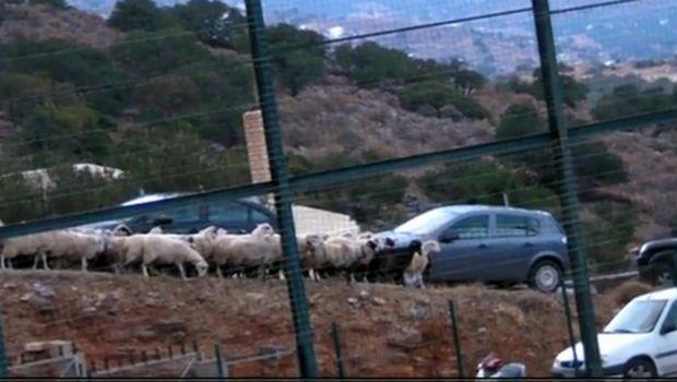Το κοπάδι από πρόβατα που βλέπει ποδόσφαιρο!
