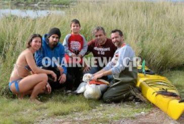 Διάσωση τραυματισμένου αργυροπελεκάνου απο εθελοντές στο Μεσολόγγι