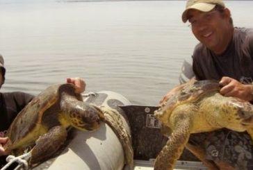 Οι θαλάσσιες Χελώνες του Αμβρακικού κόλπου