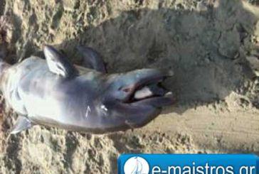 Νεκρό δελφίνι σε παραλία της Αμφιλοχίας