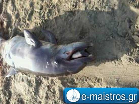 dolphin_amvrakikos1