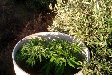 Αγρίνιο: 33χρονος καλλιεργούσε  χασίς στο σπίτι του
