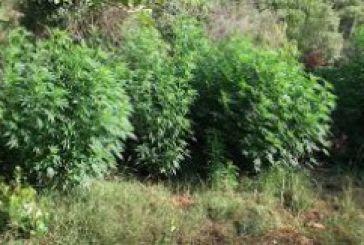 59χρονος καλλιεργούσε χασίς στο Πατιόπουλο