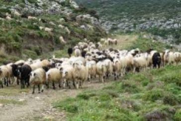 Στους Χαλκιόπουλους ενημέρωση των κτηνοτρόφων για τον καταρροϊκό πυρετό