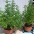 Ένας 69χρονος και ένας 45χρονος συνελήφθη για υπόθεση ναρκωτικών σε...