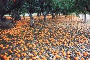 30% κάτω η παραγωγή πορτοκαλιών στο Νομό