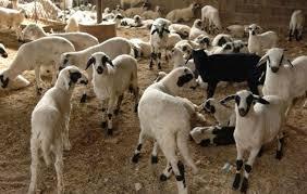 Oικονομική αποζημίωση σε κτηνοτρόφους για τον καταρροϊκό πυρετό