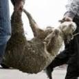 Κύκλωμα ζωοκλεφτών που δρούσε στην Αιτωλοακαρνανία, τουλάχιστον το τελευταίο ένα...