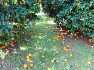 apozimiosi-portokalia-dimos-Eyrwta
