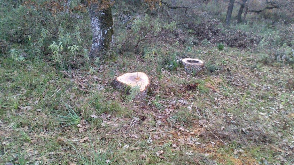 Λαθροϋλοτόμοι πετσόκοψαν αιωνόβιες βελανιδιές στην Παλαιομάνινα