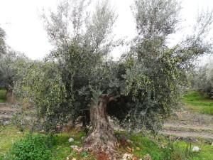 Πιλοτική εφαρμογή βιολογικής δακοκτονίας προτείνει η Οικολογική Δυτική Ελλάδα