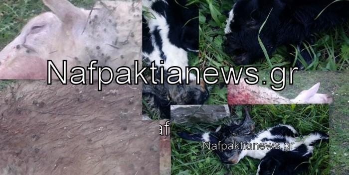 Ναυπακτία: «Κτήνη» βασανίζουν ζώα