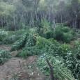 Εντοπίστηκε φυτεία δενδρυλλίων κάνναβης και στο Πραντικό του Βάλτου (παραλίμνια...